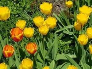 Frühlingsblumen in Besigheim